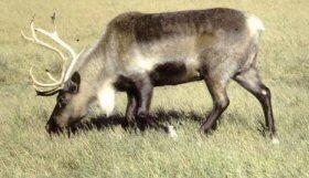 Caribuutopie - Elever un caribou Caribou_2